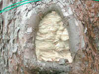 natural tree cavity, Foto: Kai-Uwe Blumenthal