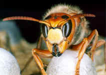 head of a hornet (Photo: Dr. Elmar Billig)